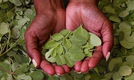 What are the health benefits of Moringa?